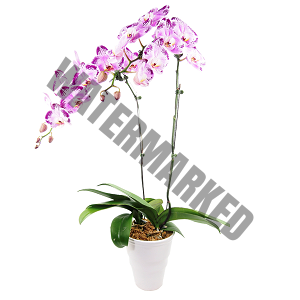orchid flower delivery Singapore cheap
