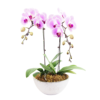 Discover 2 tone white pink orchid plant delivery