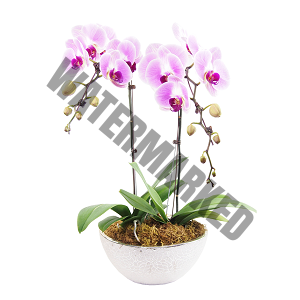 Buy orchid flower delivery Singapore