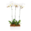 3 stems white orchid flower for sale
