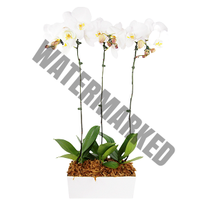 orchid flower delivery