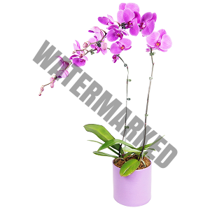 cheap purple potted orchid delivery singapore