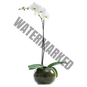 Send live white 1 stalk orchid flower