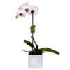 Best orchid flower delivery Singapore
