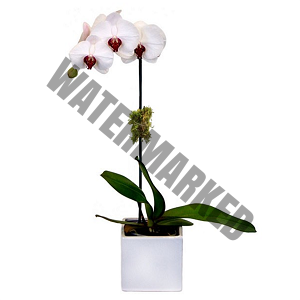 single white pink phalaenopsis orchid singapore