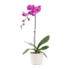 buy now purple orchid plant delivery Singapore