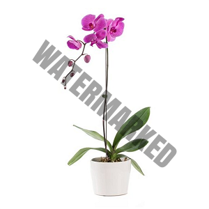 Send orchid flower delivery Singapore