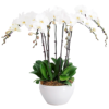 check out 10 stems white orchid flower online