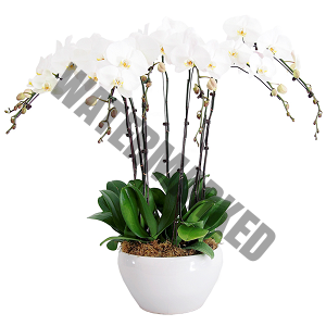 Online orchid flower delivery Singapore