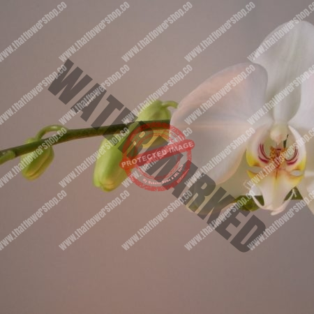How to Care for Phalaenopsis Orchid in Singapore