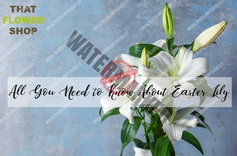 All You Need to Know About Easter Lily | History of Easter Lily | Facts about Easter Lily| Easter Lily Care | Meaning of Easter Lily
