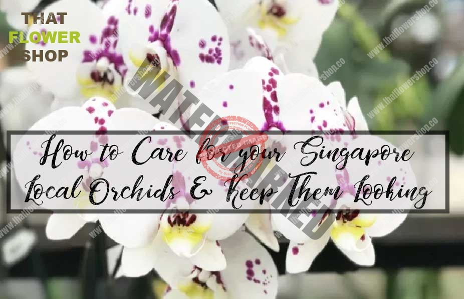 How to Care for your Singapore Local Orchids & Keep Them Looking Their Best?