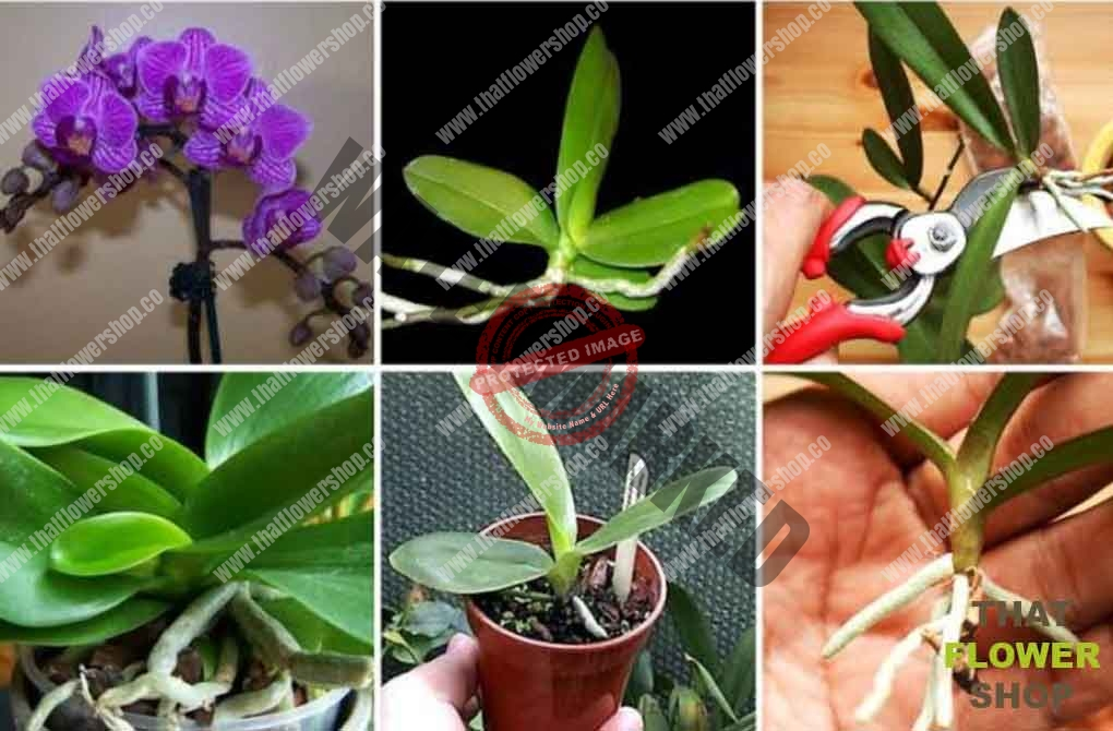 Do Orchids Die And Regrow That Flower Shop