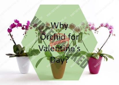 Why You Should Buy Orchids for Valentine's Day?